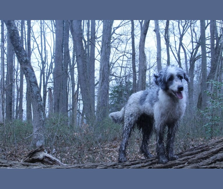 Photo of Funfetti, a Poodle (Standard) and Australian Shepherd mix in Colorado Springs, CO, USA