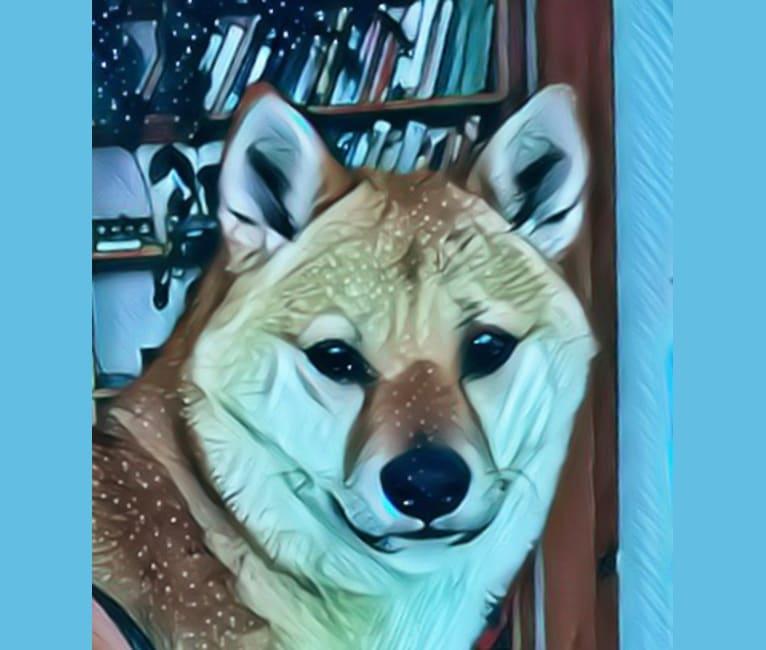 Photo of Ushi, a Shiba Inu  in Talkeetna, Alaska, USA