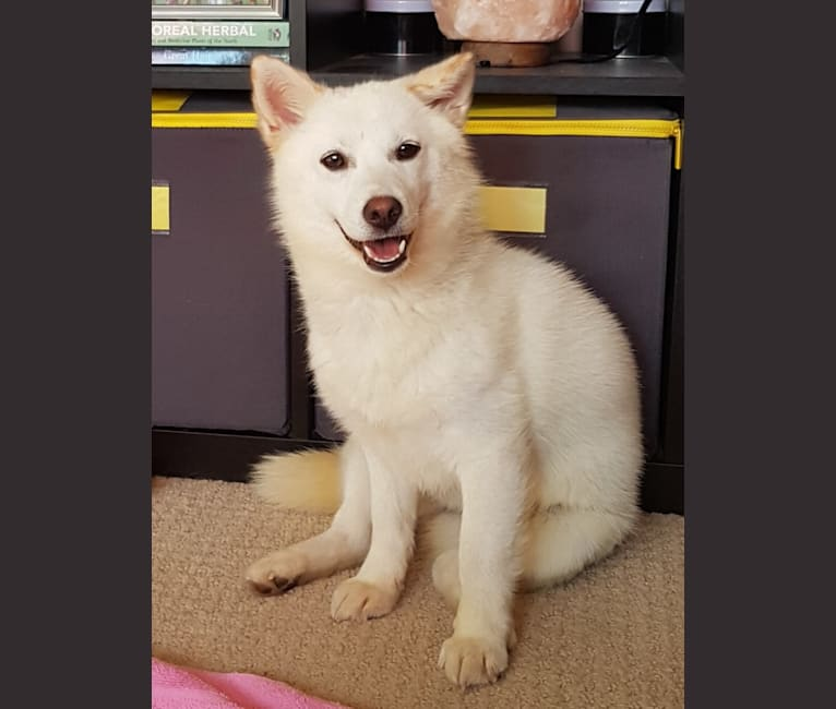 Photo of Yuna, a Japanese and Korean Village Dog  in Gimpo-si, Gyeonggi-do, South Korea