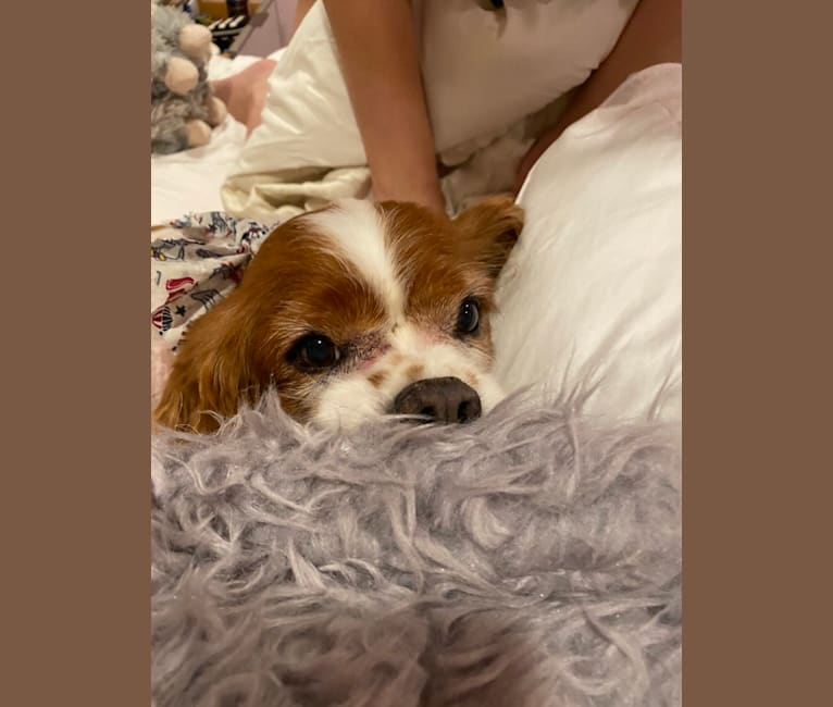 Photo of Charlie, a Cavalier King Charles Spaniel  in Franklin Square, New York, USA