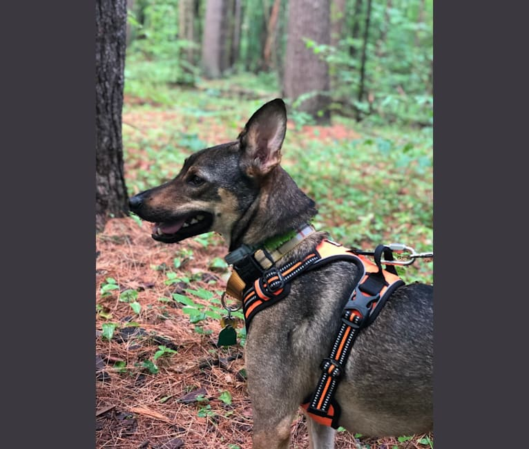 Photo of Avery, a German Shepherd Dog, Chihuahua, and Mixed mix in Tennessee, USA