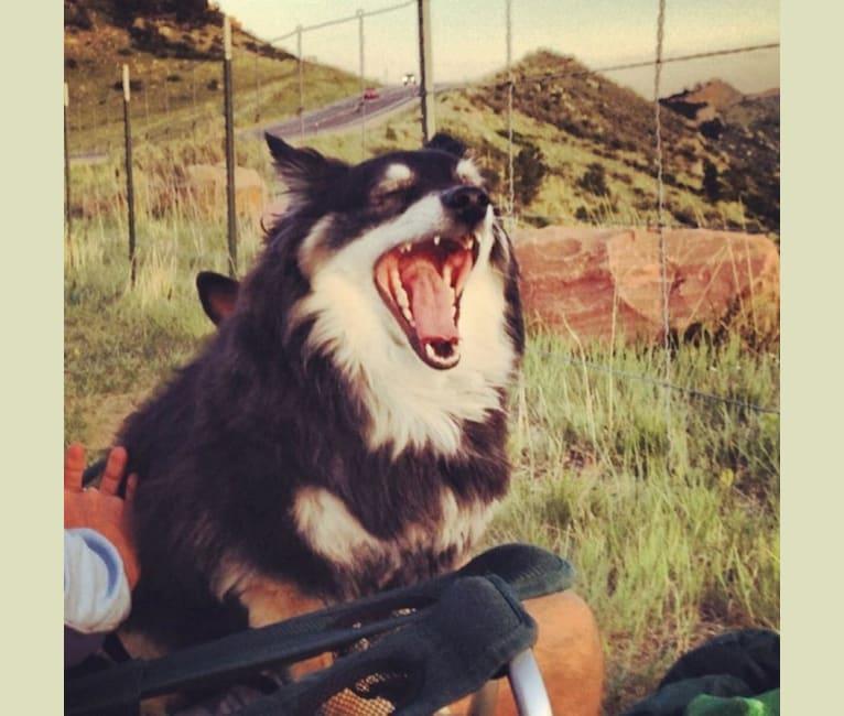 Photo of Pucci, an American Eskimo Dog, Chihuahua, and Pomeranian mix