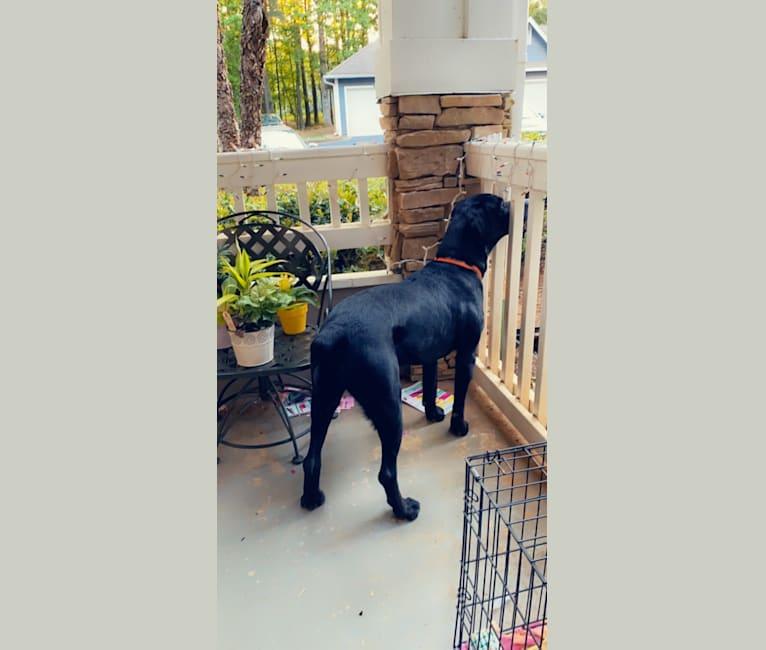 Photo of Salem Layne, a Rottweiler, Redbone Coonhound, and Dalmatian mix in Georgia, USA