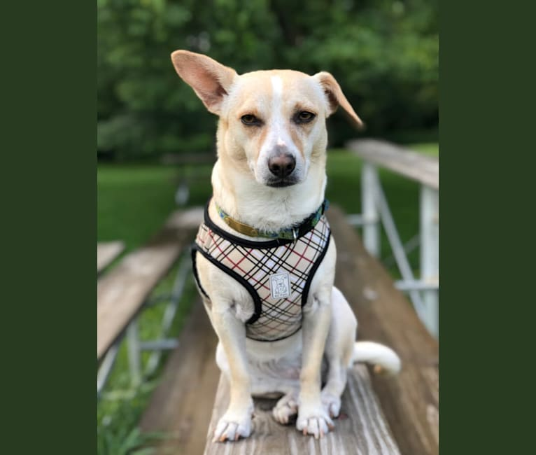 Photo of Banana, a Chihuahua, Poodle (Small), Boston Terrier, and Mixed mix in Tennessee, USA