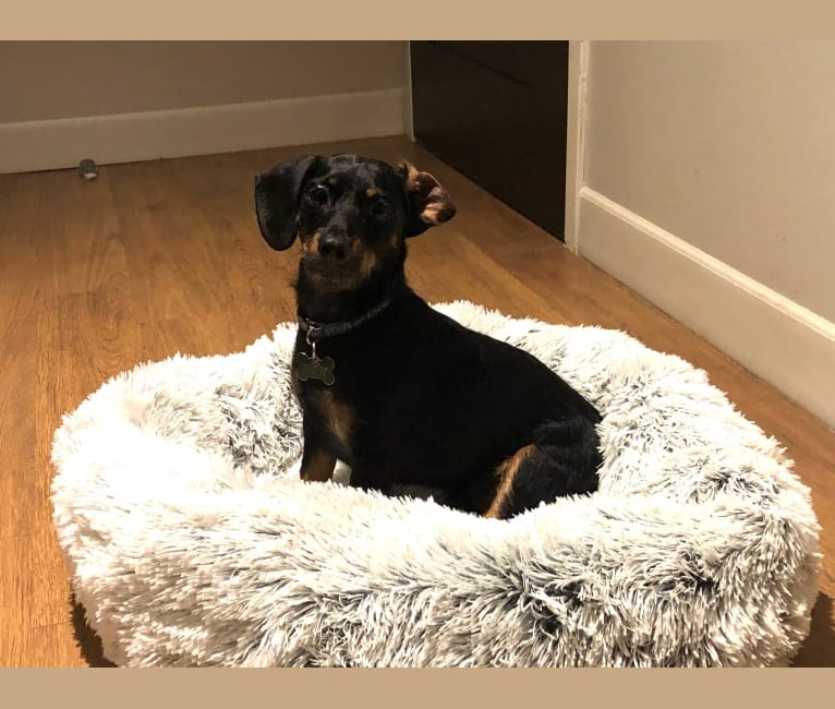 Photo of Frank, a Dachshund and Yorkshire Terrier mix in Philadelphia, Pennsylvania, USA