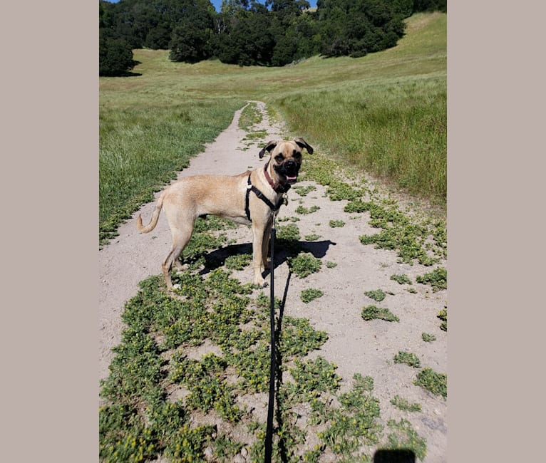 Photo of Obelius, a Pug and Chihuahua mix in Atwater, CA, USA
