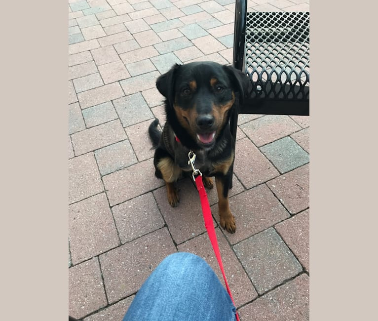 Photo of Cooper, a Miniature Pinscher, Boxer, American Eskimo Dog, and Chow Chow mix in West Virginia, USA