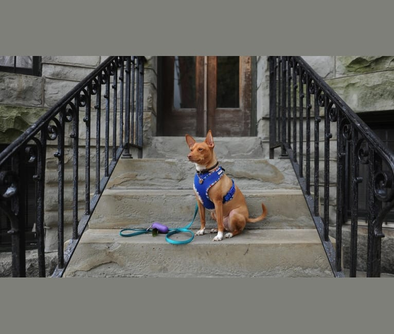 Photo of Abu, a Miniature Pinscher, Rat Terrier, Pug, and Mixed mix in Hyattsville, Maryland, USA