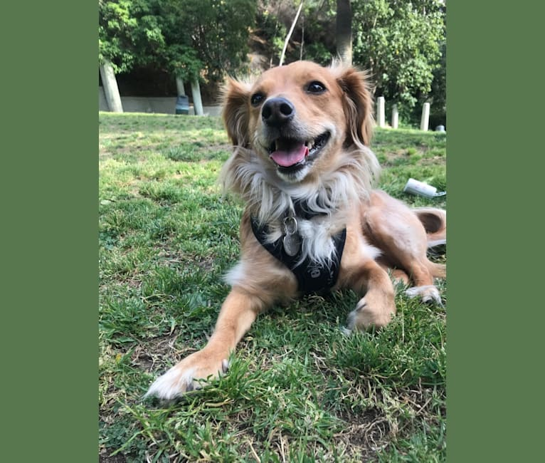 Photo of Ferris, a Poodle (Small), Chihuahua, Shih Tzu, and Mixed mix in Los Angeles, California, USA