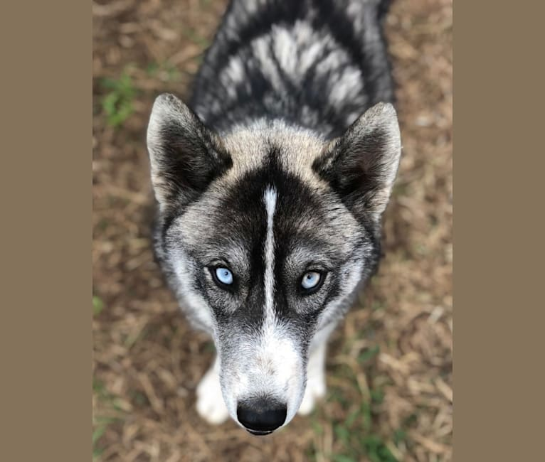Photo of Saskia, a Siberian Husky and Alaskan Malamute mix in Australia