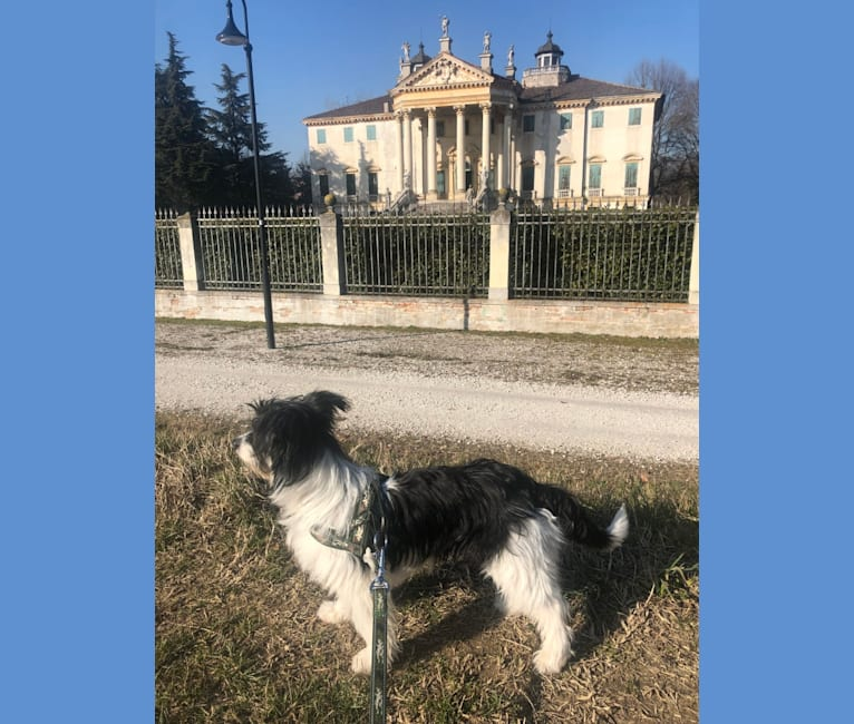 Photo of Pepe, an European Village Dog and Maltese mix in Aversa, Campania, Italia