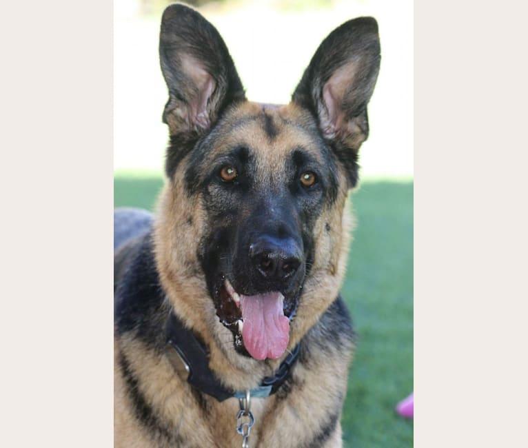 Photo of Jäger, a German Shepherd Dog and Boxer mix in Santa Clarita, California, USA