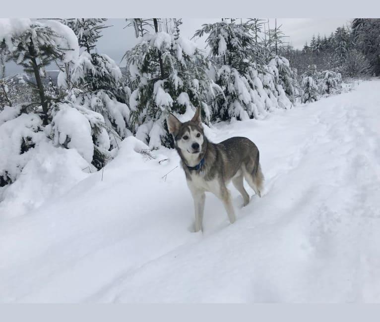 Photo of Jack Daniels, an Alaskan-type Husky  in Anchorage, Alaska, USA