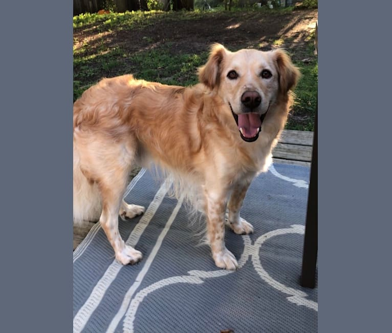 Photo of Moby, a Miniature Schnauzer, Great Pyrenees, Labrador Retriever, and Chow Chow mix in Oklahoma, USA