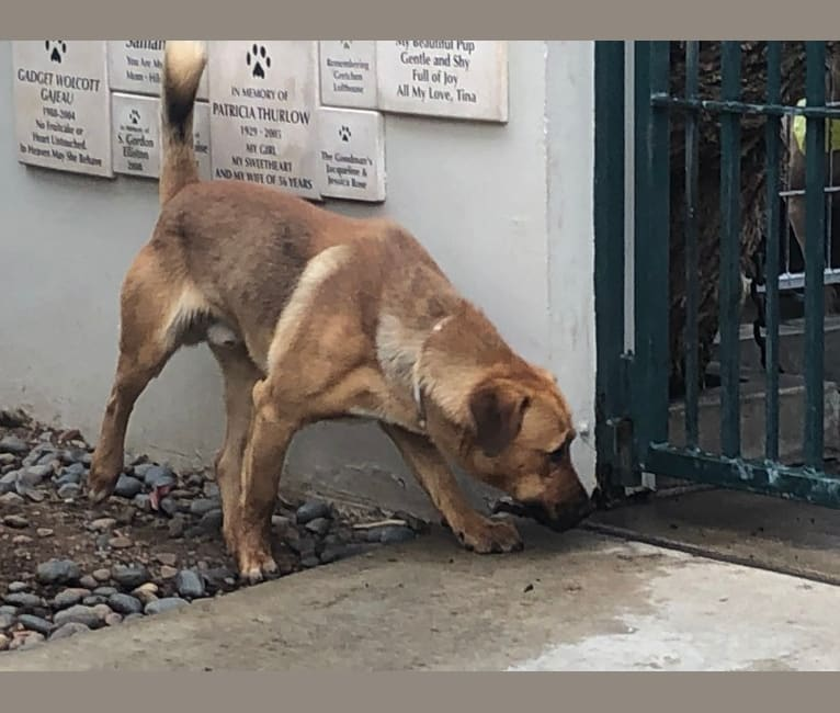 Photo of Roscoe, a Golden Retriever, German Shepherd Dog, American Pit Bull Terrier, Siberian Husky, and Mixed mix in Pasadena, California, USA