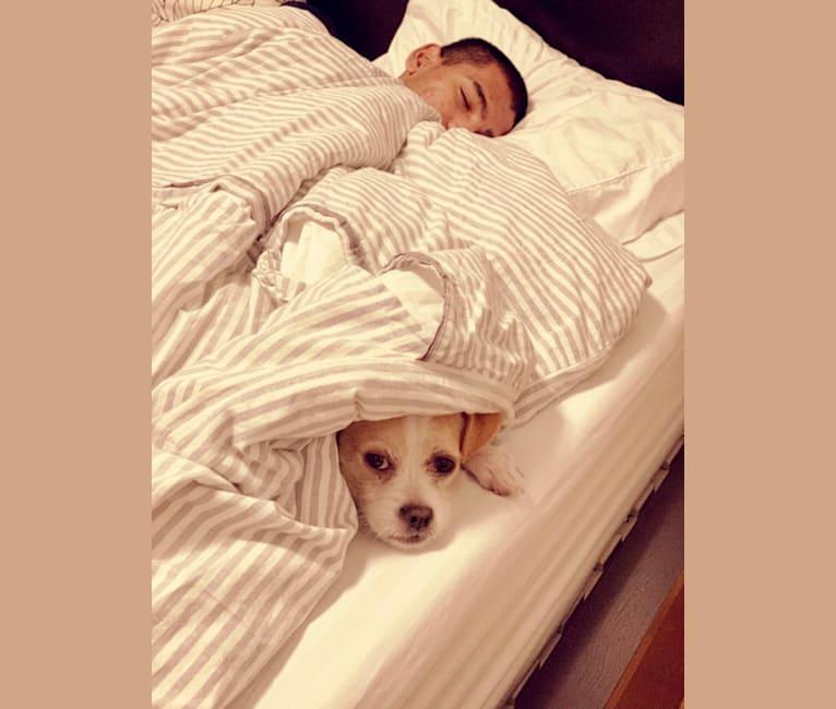 Photo of ChiChi, a Shih Tzu, Boxer, Maltese, and Poodle (Small) mix in Miami, Florida, USA