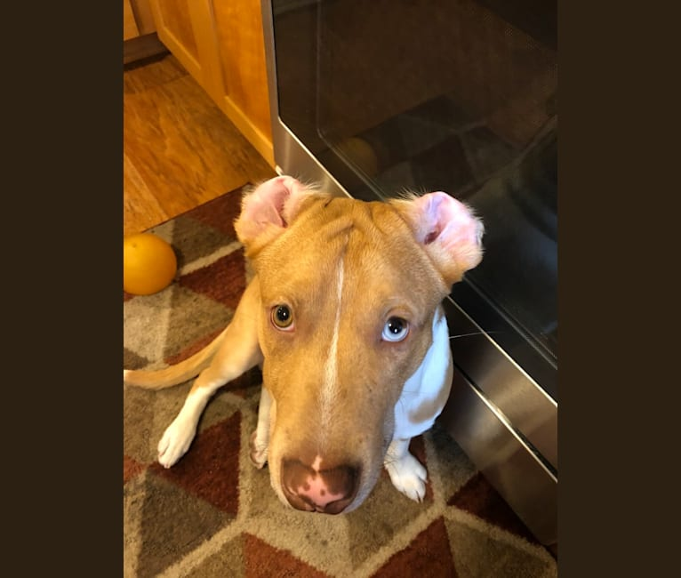 Photo of Huck, an American Pit Bull Terrier, American Staffordshire Terrier, and Australian Cattle Dog mix in Oklahoma, USA