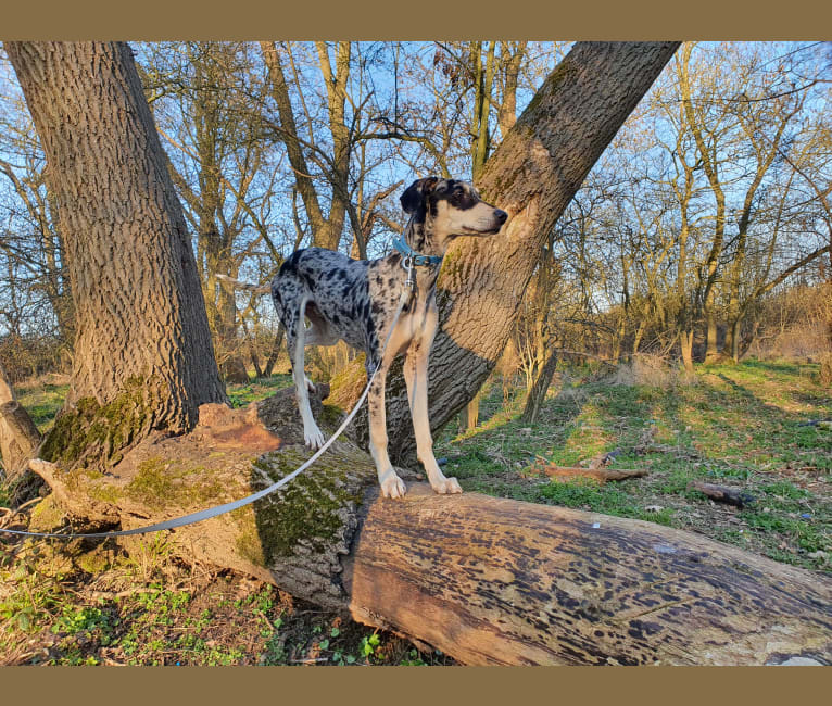 Photo of Arlo, a Greyhound, Saluki, American Pit Bull Terrier, and Whippet mix in Bedford, England, United Kingdom