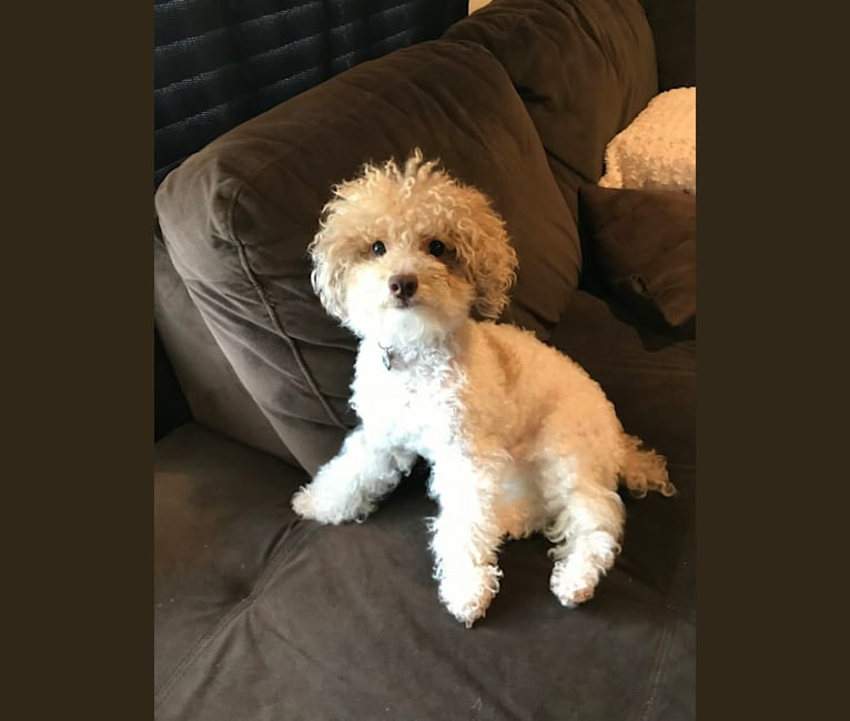 Photo of Reeves The Majestic, a Poodle (Small)  in Pendleton, South Carolina, USA