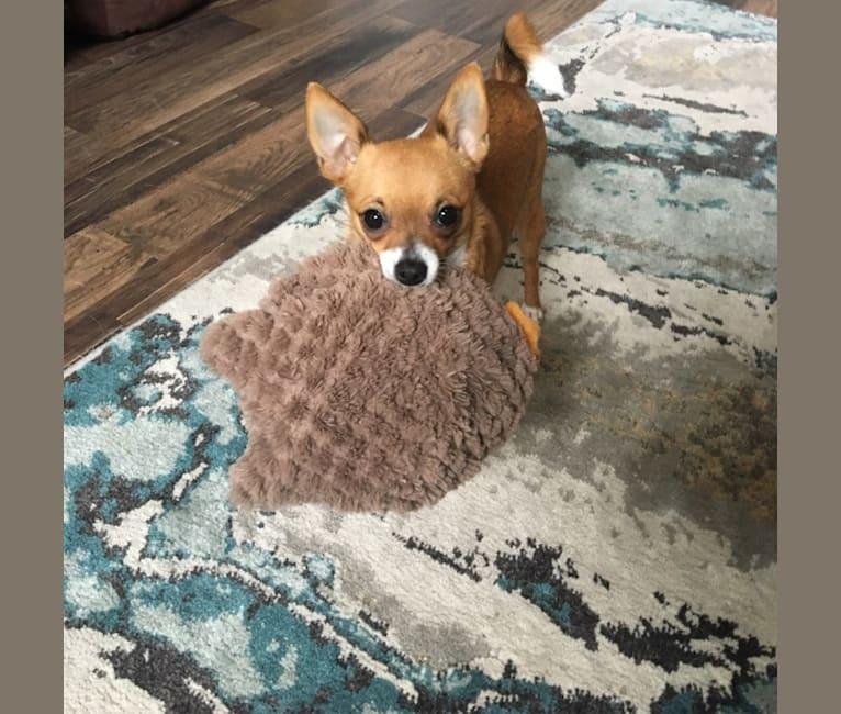 Photo of Gracie, a Pomchi  in Florida, USA