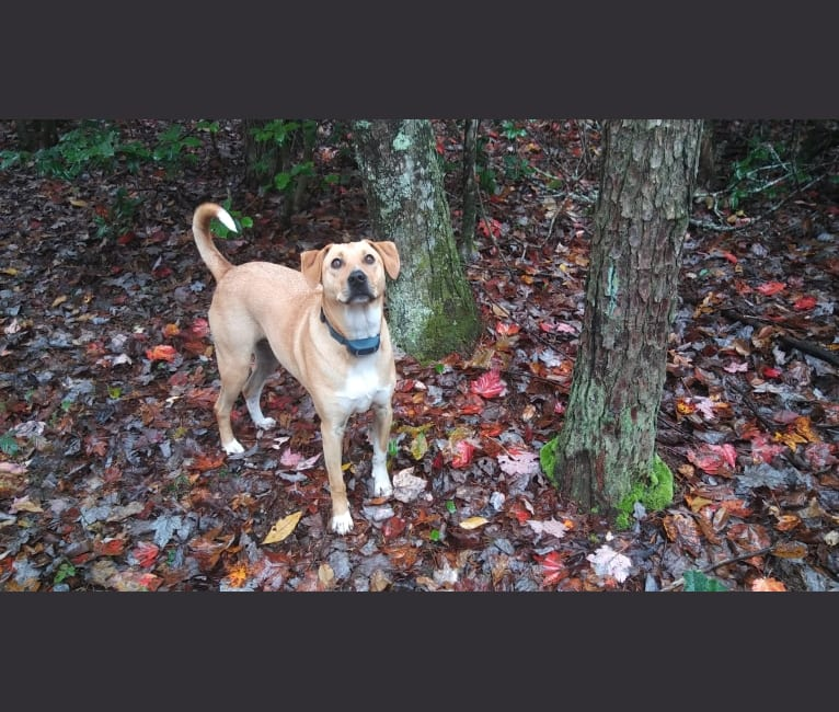 Photo of Tulip O'Hare, an Australian Cattle Dog, Russell-type Terrier, Beagle, Treeing Walker Coonhound, and Mixed mix in Nashville, TN, USA