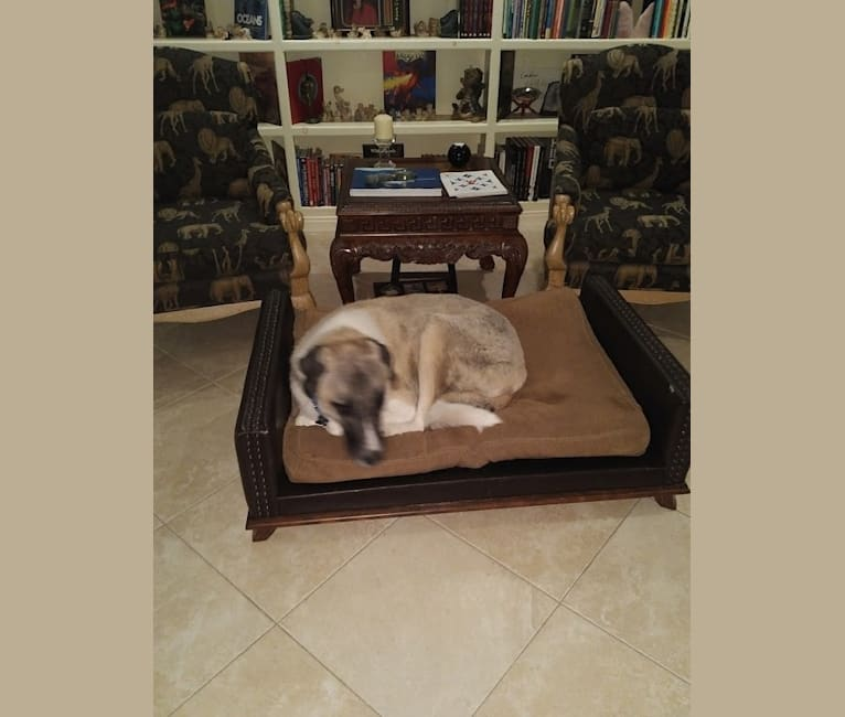 Photo of Barrett, an Anatolian Shepherd Dog