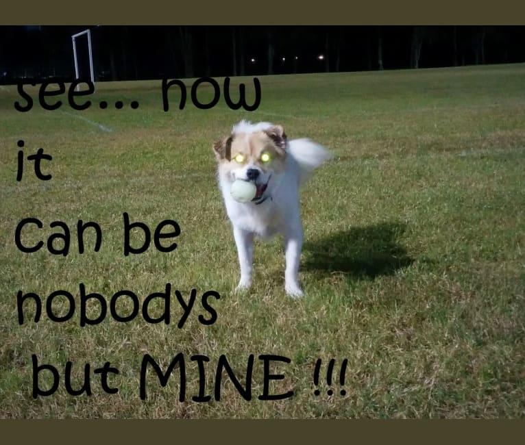 Photo of Bindi, a German Shepherd Dog, Australian Cattle Dog, Staffordshire Terrier, and Maltese mix in Newport, New South Wales, Australia