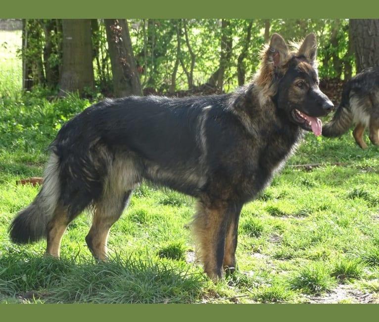 Photo of Chai, a German Shepherd Dog  in Loenen, Gelderland, Nederland