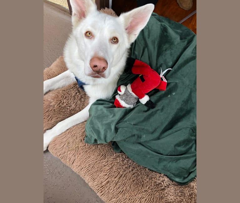 Photo of Ace, a German Shepherd Dog, Siberian Husky, and Akita mix in Los Angeles, California, USA