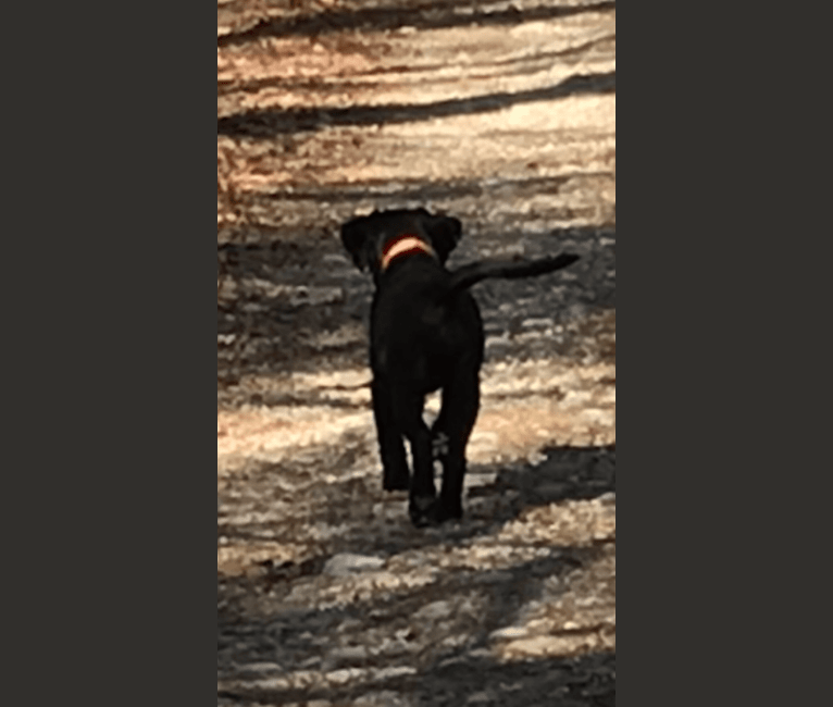 Photo of Ruby, a Labrador Retriever and American Pit Bull Terrier mix in Louisiana, USA