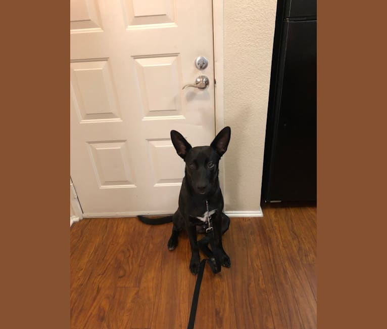 Photo of Kinzo, a German Shepherd Dog, American Pit Bull Terrier, and American Staffordshire Terrier mix
