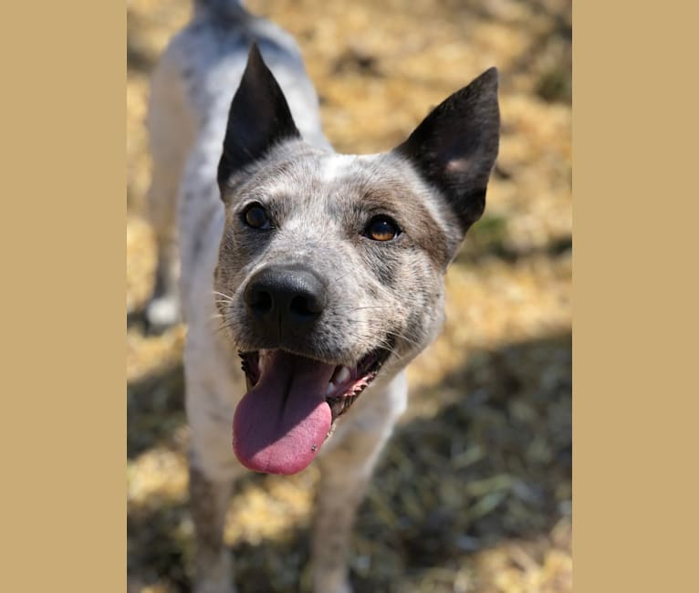 Photo of Odin, a German Shepherd Dog, Australian Cattle Dog, Beagle, Collie, and Siberian Husky mix in Pennsylvania, USA