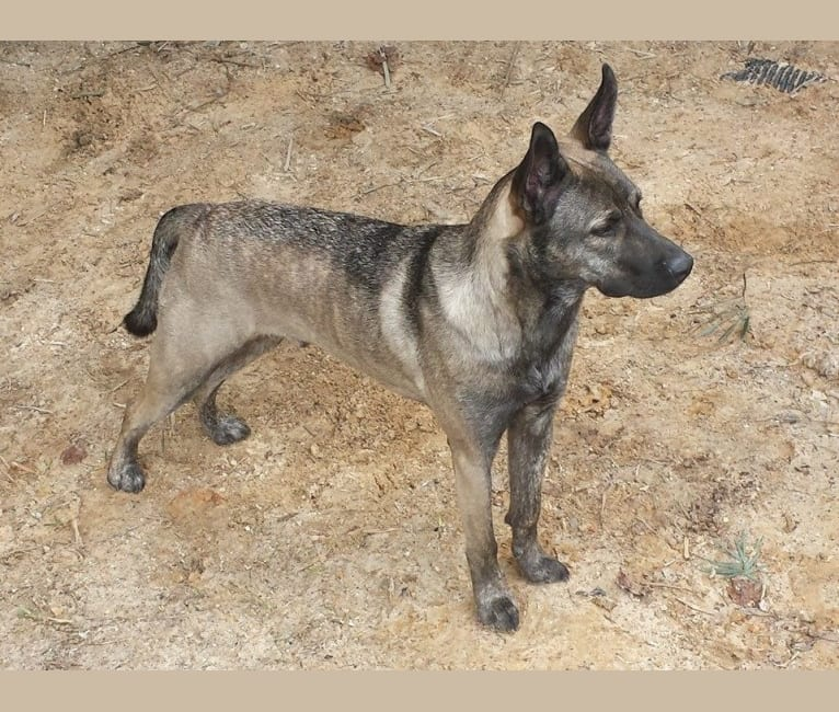 Photo of Ares, a Perro de Presa Canario, Siberian Husky, Neapolitan Mastiff, and Chow Chow mix in Ocean Springs, Mississippi, USA