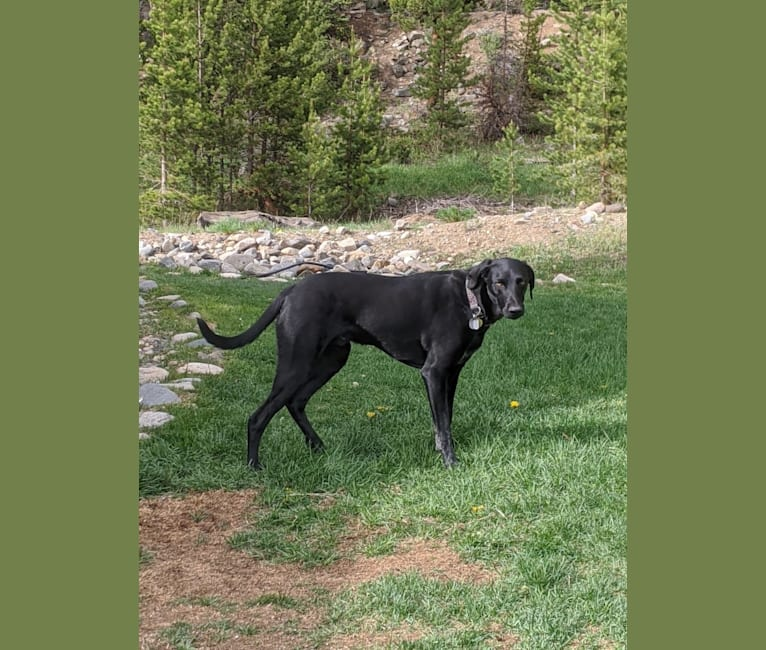 Photo of Gus, a German Shorthaired Pointer, Australian Cattle Dog, Pointer, and Mixed mix in Ark Valley Humane Society, Gregg Drive, Buena Vista, CO, USA