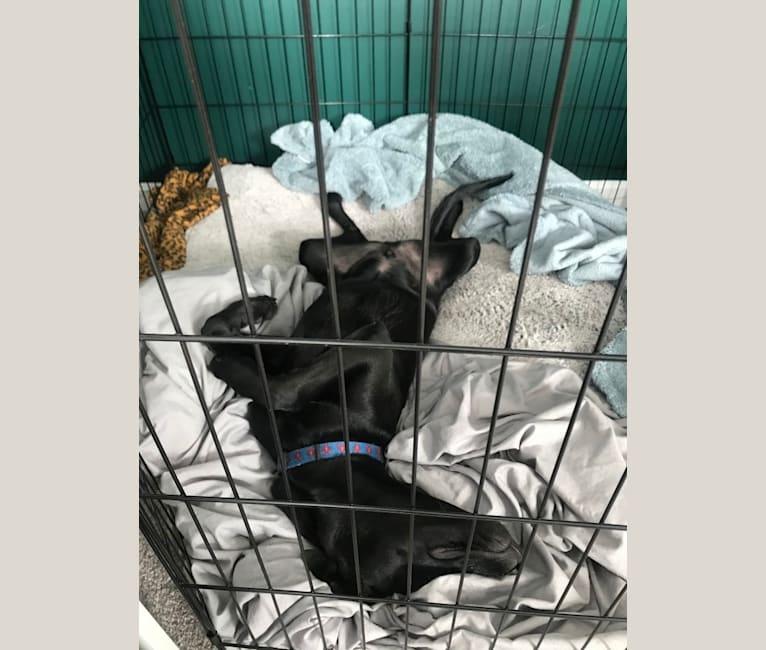 Photo of Ruben, a Mountain Cur, Labrador Retriever, and Beagle mix in Alabama, USA