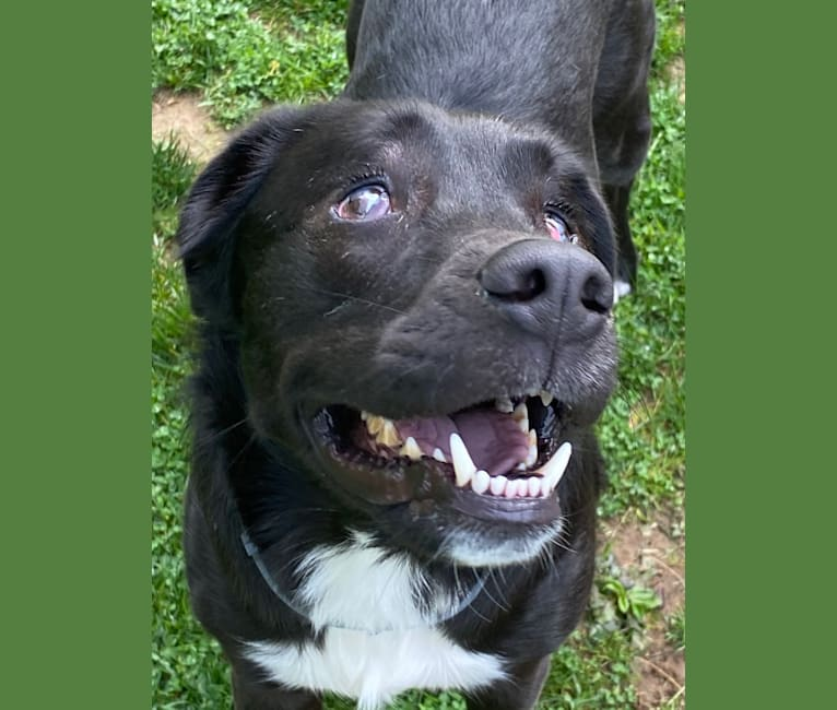Photo of Fredo, an American Pit Bull Terrier and English Springer Spaniel mix in Wilmington, Delaware, USA