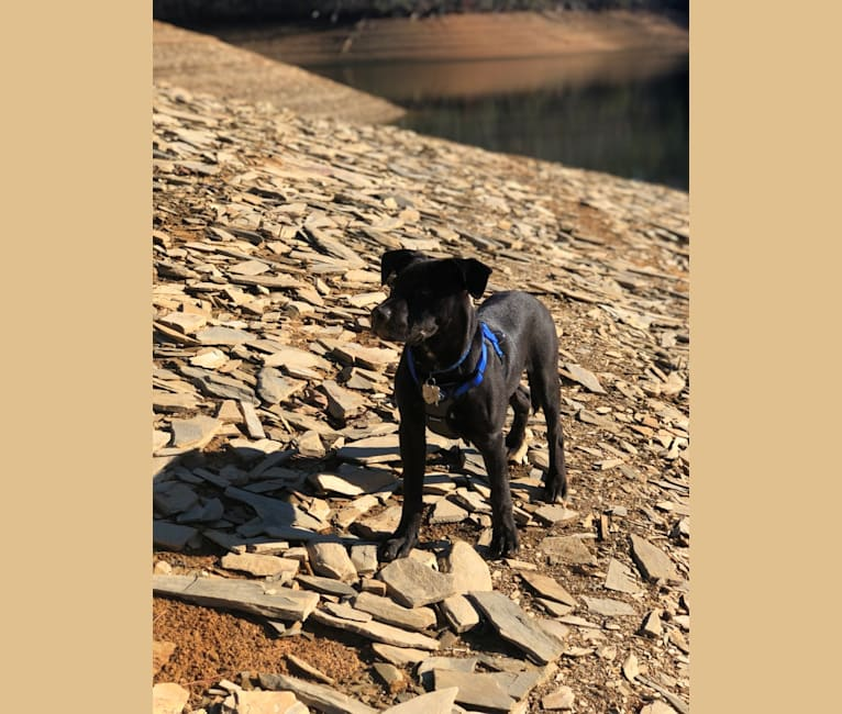 Photo of Bruin, an American Pit Bull Terrier, Boxer, German Shorthaired Pointer, and Mixed mix in North Carolina, USA