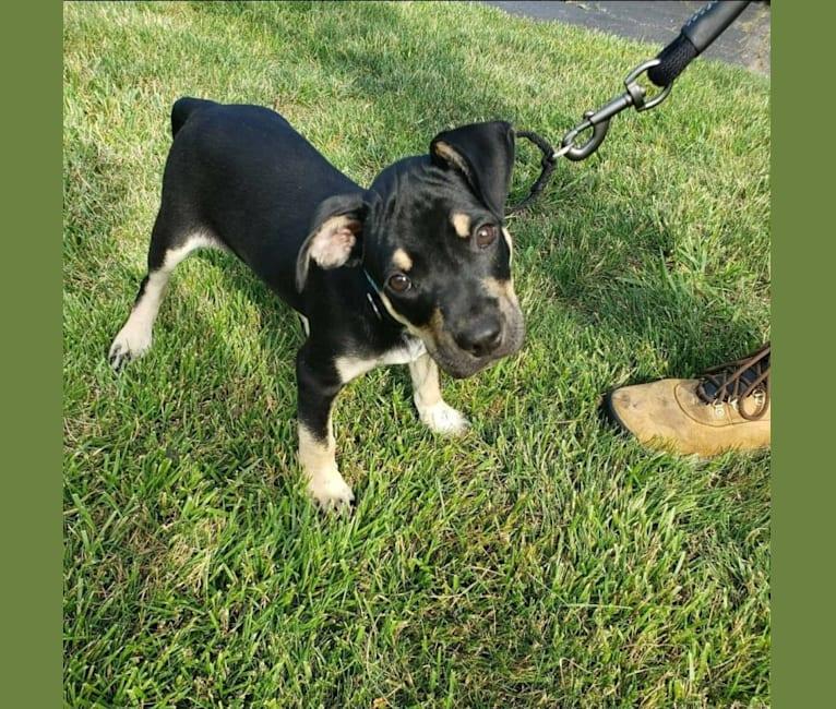 Photo of Chopper, an American Pit Bull Terrier, Australian Cattle Dog, and Miniature Schnauzer mix in Texas, USA