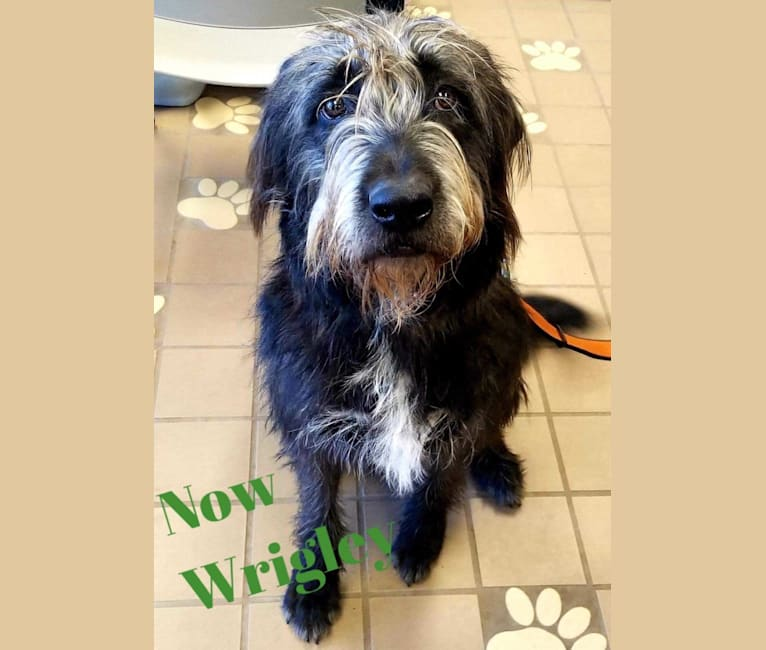 Photo of Wrigley, an Old English Sheepdog, American Pit Bull Terrier, and Australian Cattle Dog mix in Burleson, TX, USA