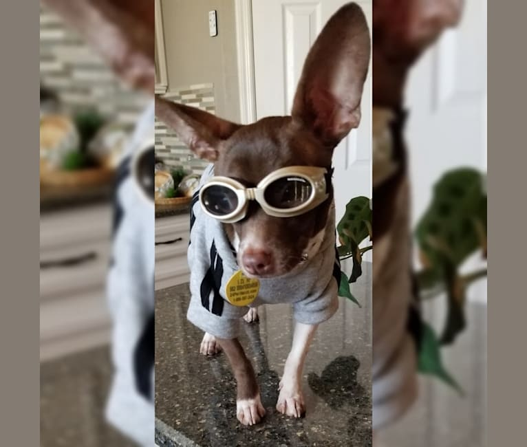Photo of Romeo, a Chihuahua, American Pit Bull Terrier, and Boston Terrier mix in Riverview, Florida, USA