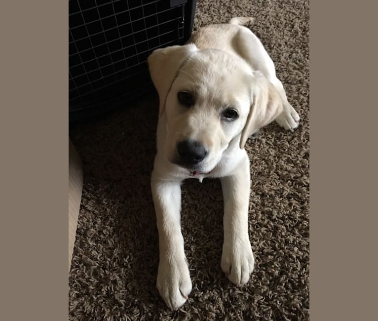 Photo of Brixton Cream of the Carson Valley, a Labrador Retriever  in Fallon, NV, USA