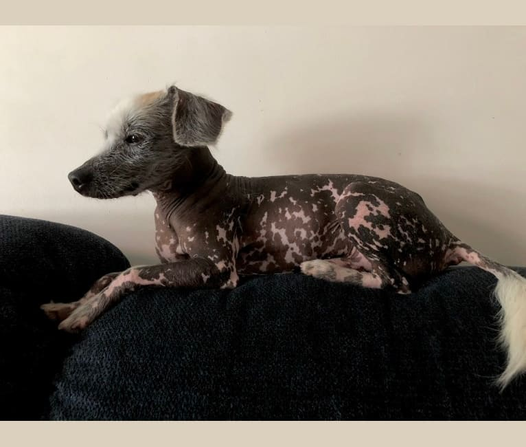 Photo of Snickerdoodle, a Chinese Crested and Beagle mix in Columbus, Ohio, USA