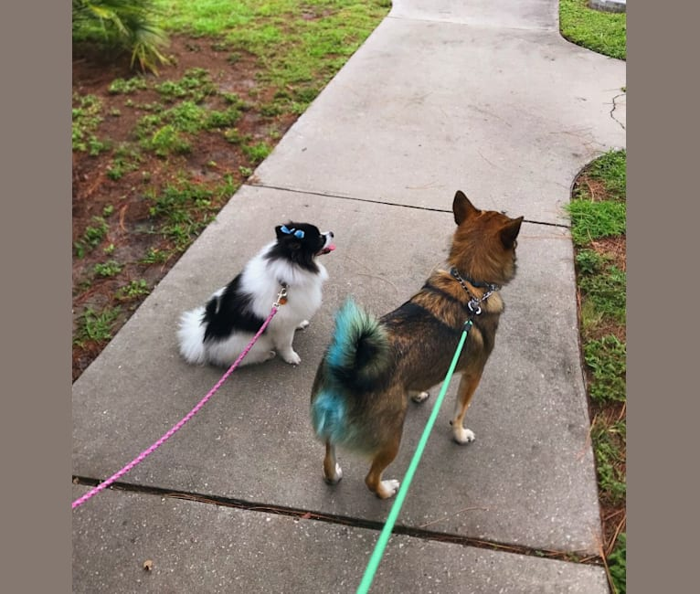 Photo of Augie, an American Eskimo Dog, Australian Cattle Dog, and Shetland Sheepdog mix in St. Petersburg, Florida, USA