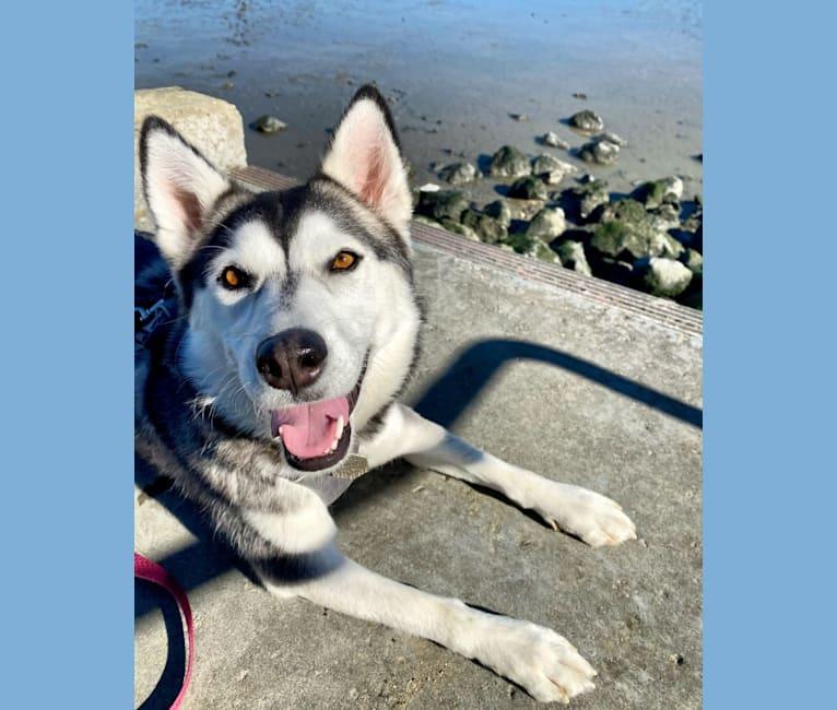 Photo of Murphy, a Siberian Husky, Alaskan Malamute, and German Shepherd Dog mix in Redwood City, California, USA