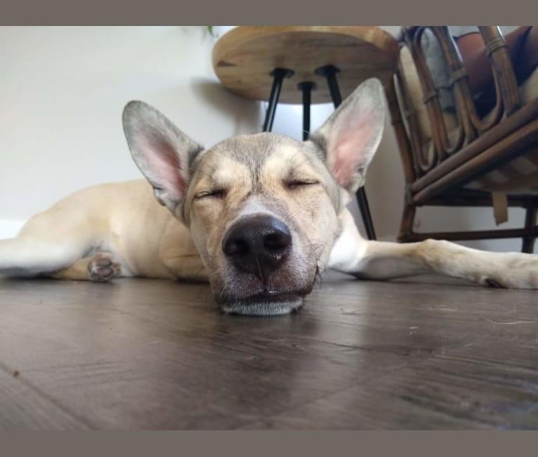Photo of Benji, an American Pit Bull Terrier, Siberian Husky, Belgian Malinois, Australian Shepherd, and German Shepherd Dog mix in San Diego, California, USA