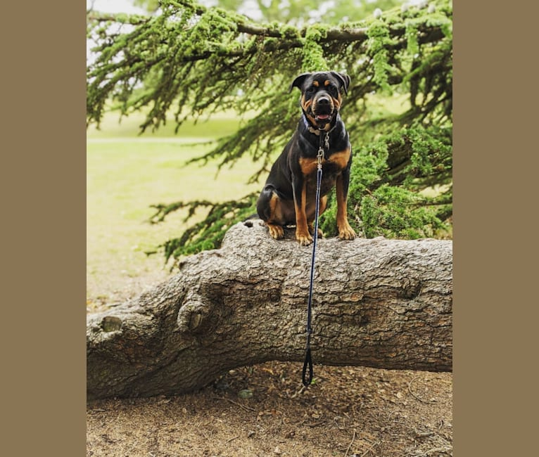 Photo of Regan, a Rottweiler and Bullmastiff mix in England, UK