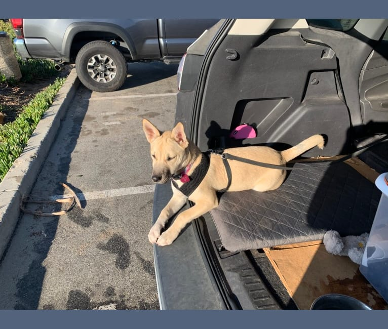 Photo of Ripley-Rose, a Siberian Husky, American Pit Bull Terrier, and American Staffordshire Terrier mix in Bakersfield, California, USA