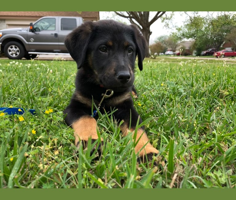 Photo of Santi-Pooh, a Labrador Retriever and German Shepherd Dog mix in Houston, Texas, USA