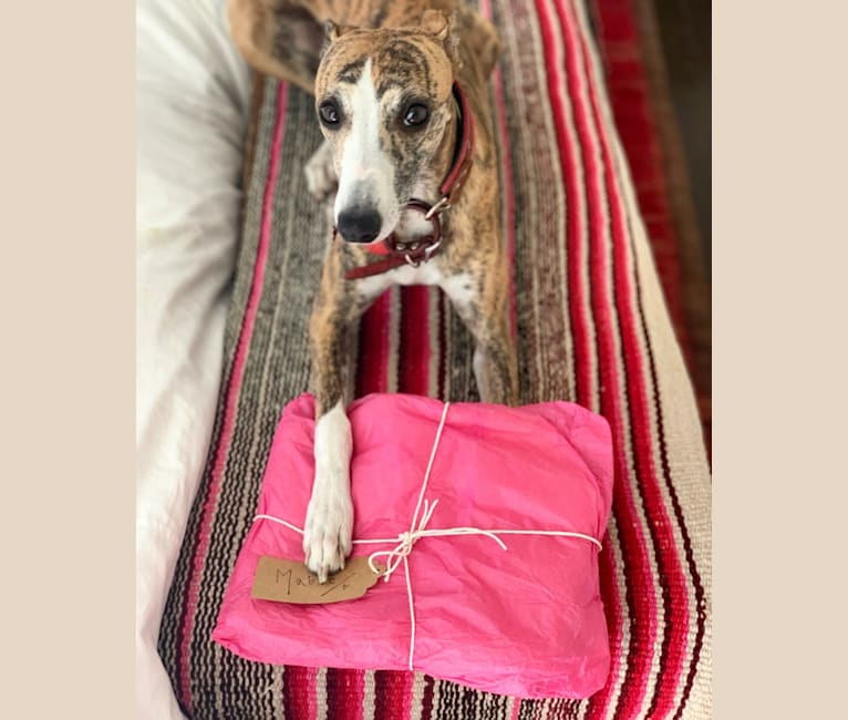 Photo of Mable, a Whippet  in Norfolk, UK