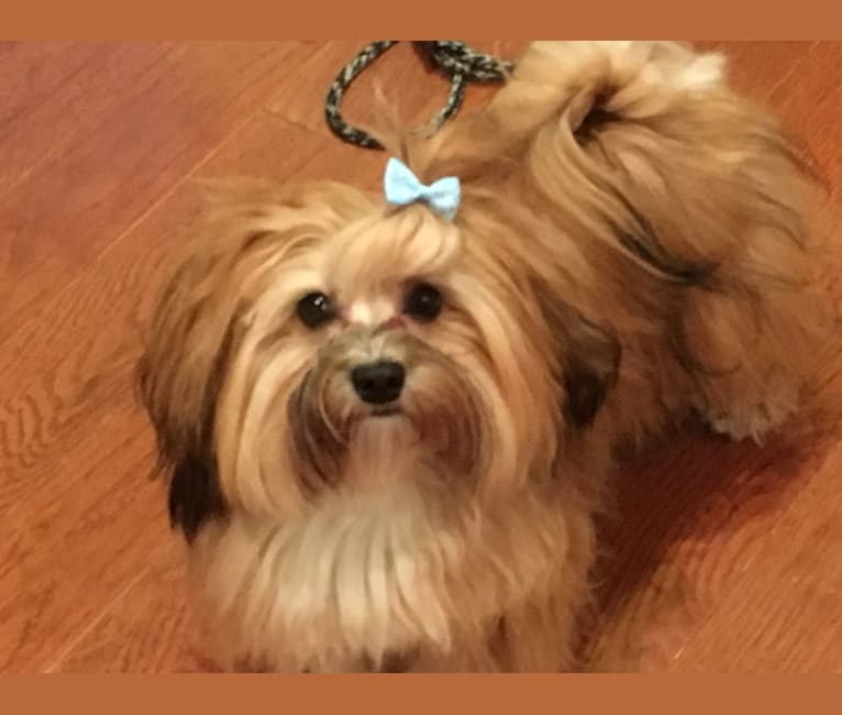Photo of TIMBER REDWOOD, a Havanese